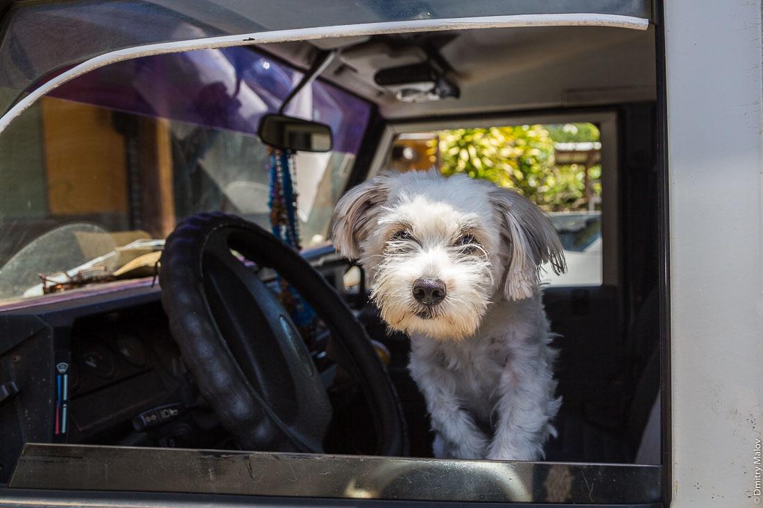 Собака за рулём. Вокруг острова Тубуаи, архипелаг Острал, Французская Полинезия. A dog behind the driving wheel in the car, Tubuai island, the Austral islands, French Polynesia.
