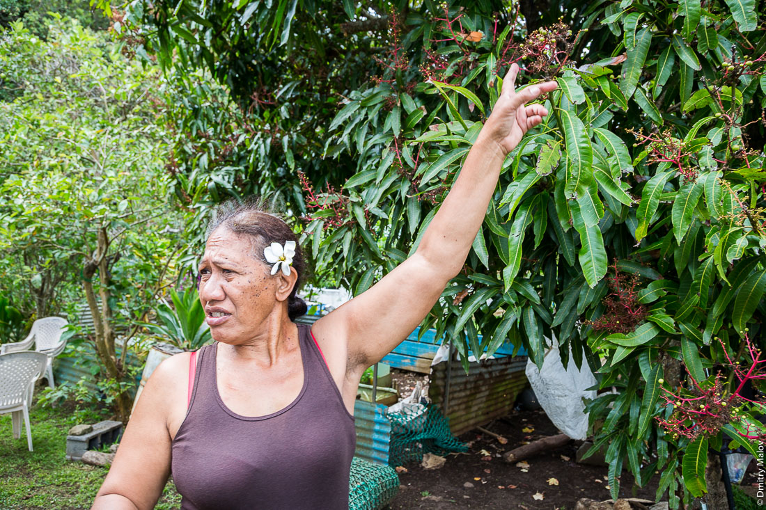 Местная полинезийская женщина рассказывает про свой сад. Дерево манго. Остров Рапа-Ити, острова Басс, Французская Полинезия. Rapa-Iti, The Bass Islands, French Polynesia. A local Polynesian woman talks about her garden. A mango tree