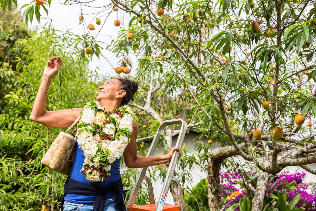 Полинезийская женщина на стремянке собирает персики. Остров Рапа-Ити, острова Басс, Французская Полинезия. Rapa-Iti, The Bass Islands, French Polynesia. A Polynesian woman with a stepladder collects peaches in a garden.