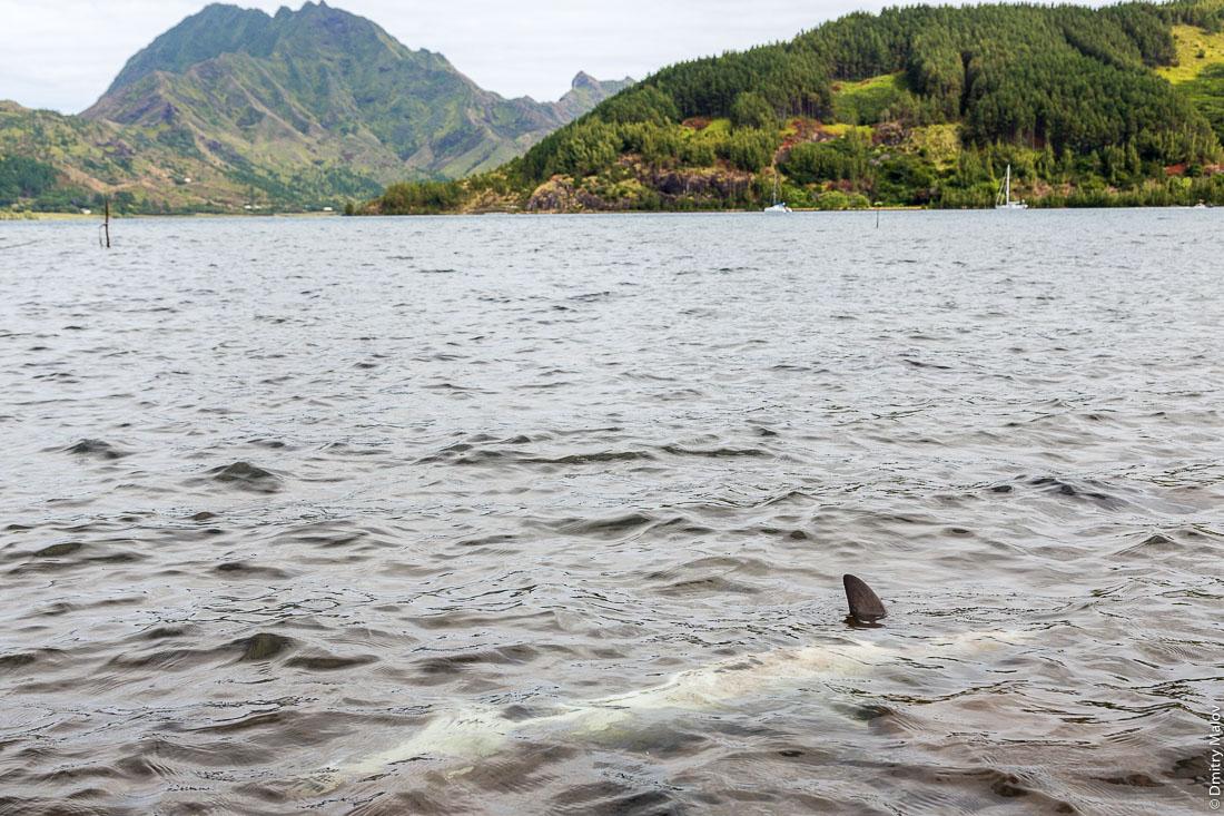 Дохлая акула плавает в воде в заливе Ауреи. Остров Рапа-Ити, острова Басс, Французская Полинезия. Rapa-Iti, The Bass Islands, French Polynesia. A dead shark in waters of Ahurei bay