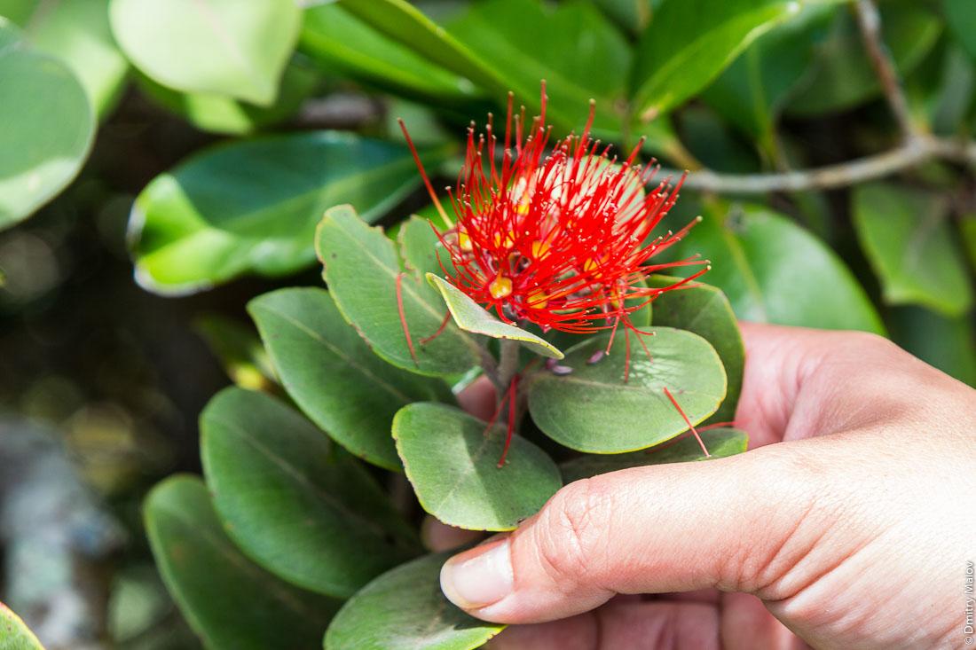 Красный цветок, остров Рапа-Ити, острова Басс, Французская Полинезия. Red flower, Rapa-Iti, The Bass Islands, French Polynesia