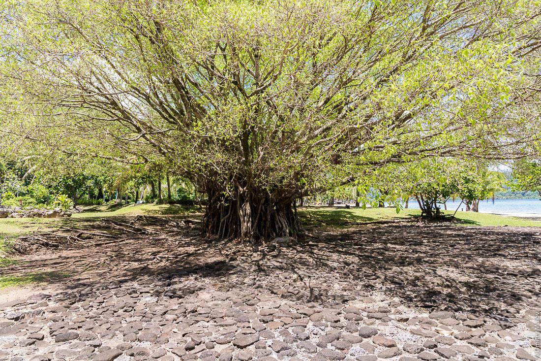 Мараэ Тапутапуатеа, священное дерево. Раиатеа, Подветренные острова архипелага Общества, Французская Полинезия. Raiatea (Ra'iātea), Leeward Islands, French Polynesia. Sacred tree