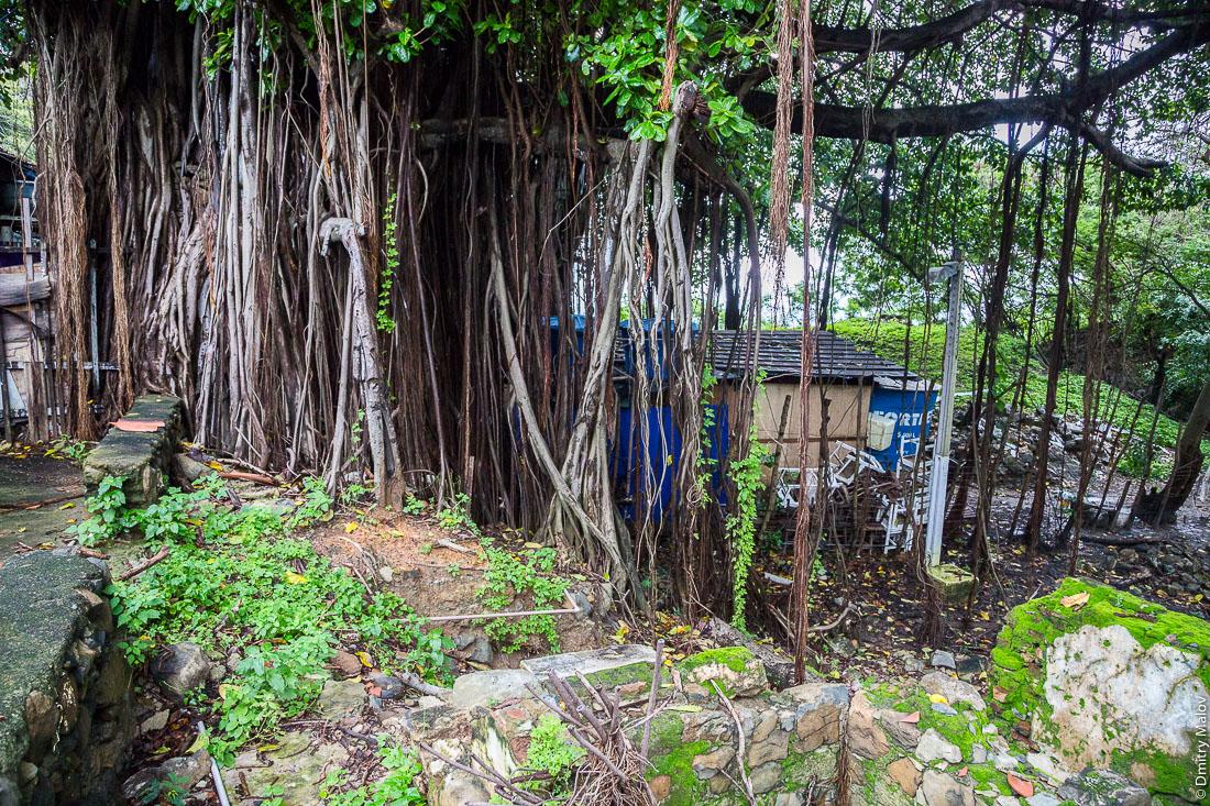 Баньян на улице города Вила-дус-Ремедиус, остров Фернанду-ди-Норонья, Бразилия. Banyan on street of town of Vila dos Remédios, Island Fernando de Noronha, Brazil