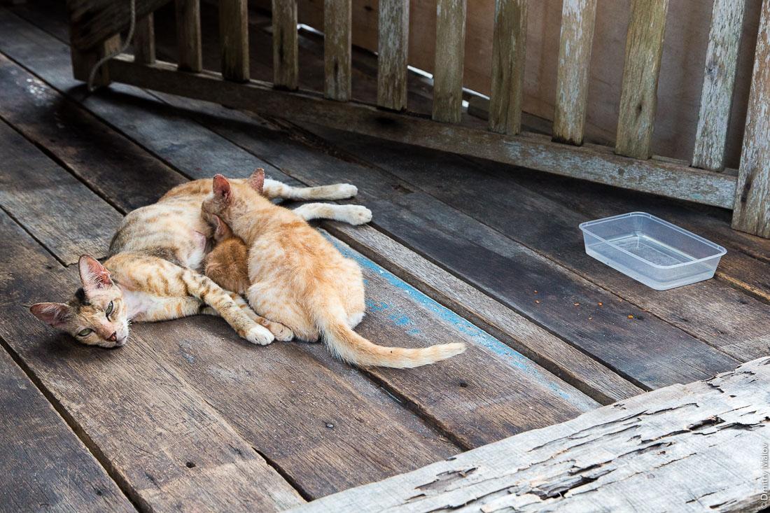 Коты в деревне на сваях Кампунг-Айер, Бандар-Сери-Бегаван, Бруней-Даруссалам. Cats in the Stilt village Kampong Ayer, Bandar Seri Begawan, Brunei Darussalam.