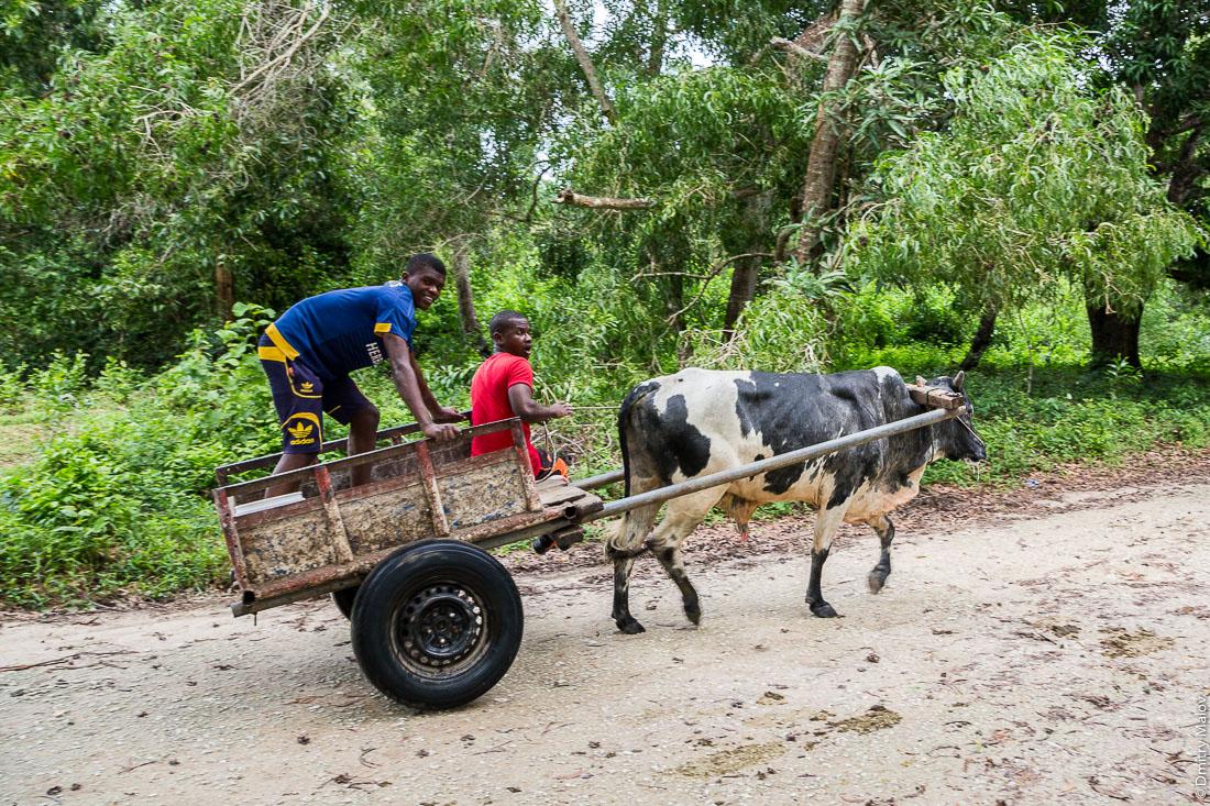 Два местный чёрных парня на телеге, запряжённой коровой зебу. Гужевой транспорт. Остров Унгуджа, Занзибар, Танзания. Two black local boys on a zebu cow cart. The island of Ungudzha, Zanzibar, Tanzania.