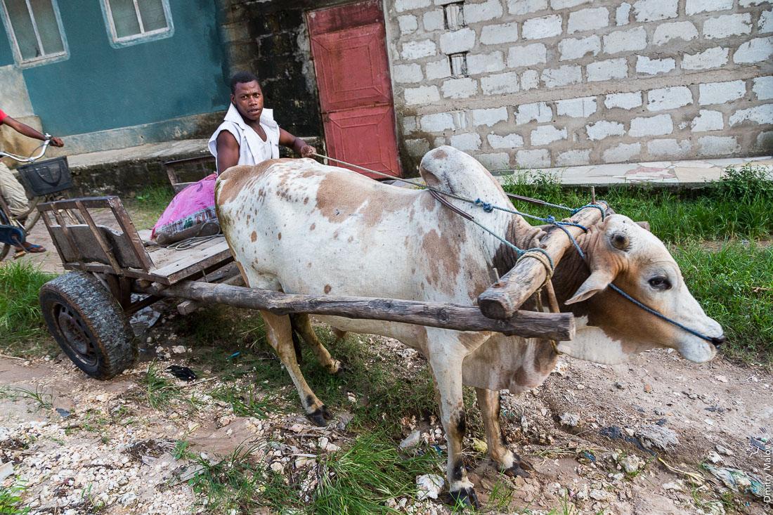 Чёрный местный мужчина на телеге, запряжённой коровой зебу. Гужевой транспорт. Остров Унгуджа, Занзибар, Танзания. A black local man on a zebu cow cart. The island of Ungudzha, Zanzibar, Tanzania.