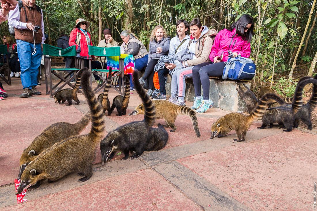 Носухи, коати, и туристы-посетители национального парка, водопады Игуасу, Аргентина. Nasua, Coati, and tourists-visitors to the national park, Iguazu Falls, Argentina