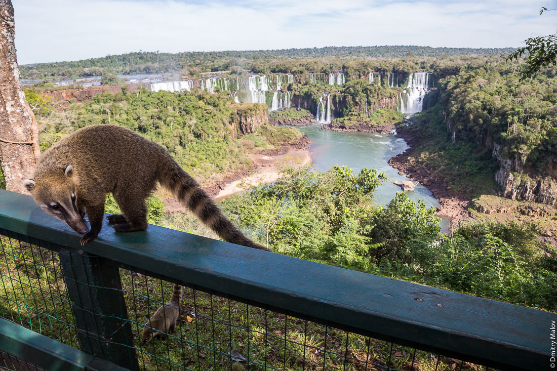 Носухи, коати. Вид с бразильской стороны на аргентинскую часть водопадов Игуасу. Coati. A view from the Brazilian side to the Argentine part of Iguazu waterfalls.
