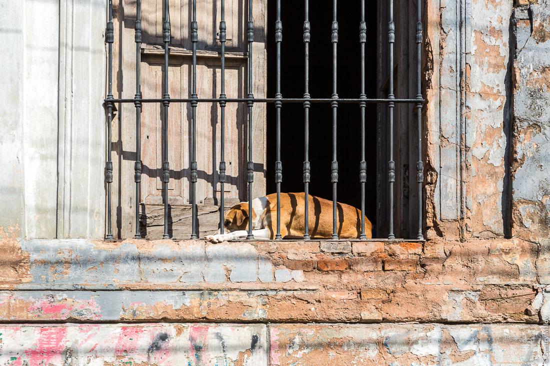 В окне испанского колониального особняка без стёкол, с решёткой и со ставнями, лежит охранная собака, центр города Асунсьон, Парагвай. A sleepy guardian dog in the window of the Spanish colonial mansion without glass, with a lattice and with shutters, the center of the city of Asuncion, Paraguay.
