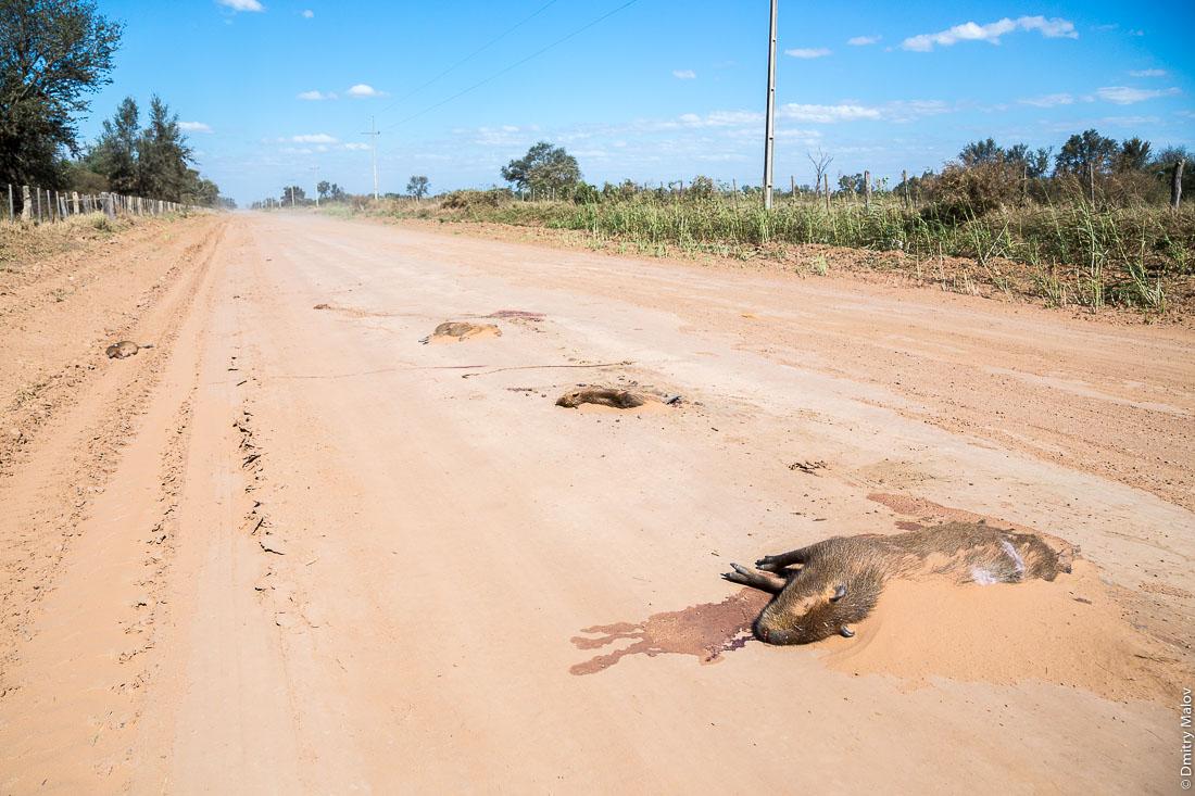 Семья капибар лежит мёртвая сбитая на дороге, Филадельфия, Парагвай. Capybaras family lies hit dead by car on the road, Filadelfia, Paraguay