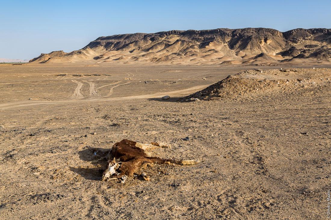 Дохлая корова в пустные около города, Эль-Бавити, Оазис Бахария, Западная пустыня, Сахара, Египет. Dead caw in the desert near the town of el-Bawiti, Oasis of Bahariya, Western Desert, Sahara, Egypt.