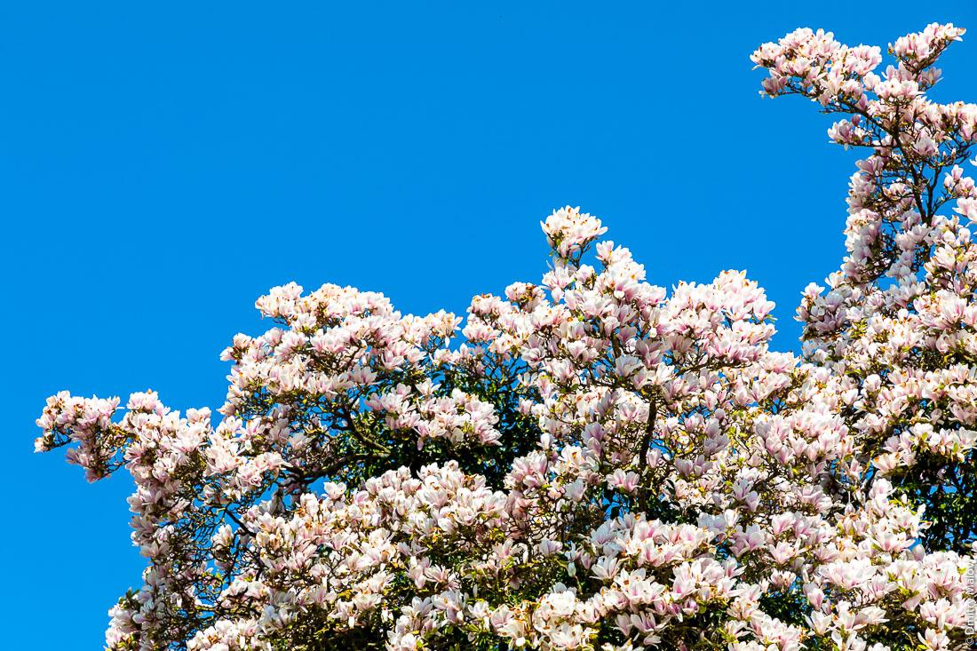 Отцветающее дерево магнолии, заканчивающее цвести дерево магнолии, цветки теперь с гнилыми бочками и сыпятся на голову